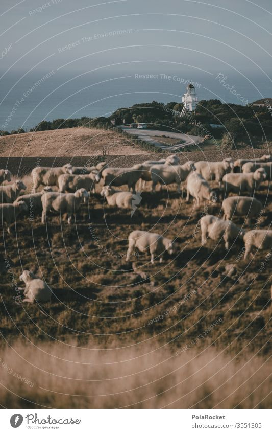 #AS# Lighthouse kissing sheep Deserted Group of animals Herd Exterior shot Nature Landscape Meadow Colour photo Farm animal count sheep Merino sheep ears Wool