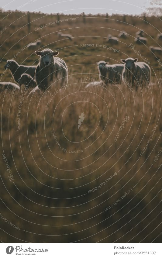 #As# What's-her-name sheep Sheep Flock Lamb's wool Sheep shearing frighten sheep Farm animals New Zealand ears Merino sheep Wool count sheep Nature Landscape