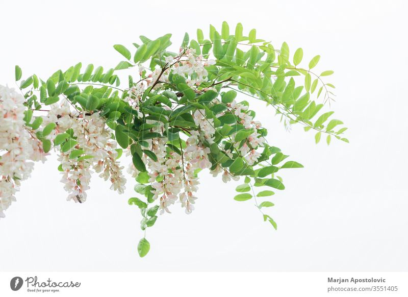 Acacia tree blooming in springtime acacia blossom blossoming botanic botany branch buds bunch bush eco ecology environment flora floral flower foliage forest