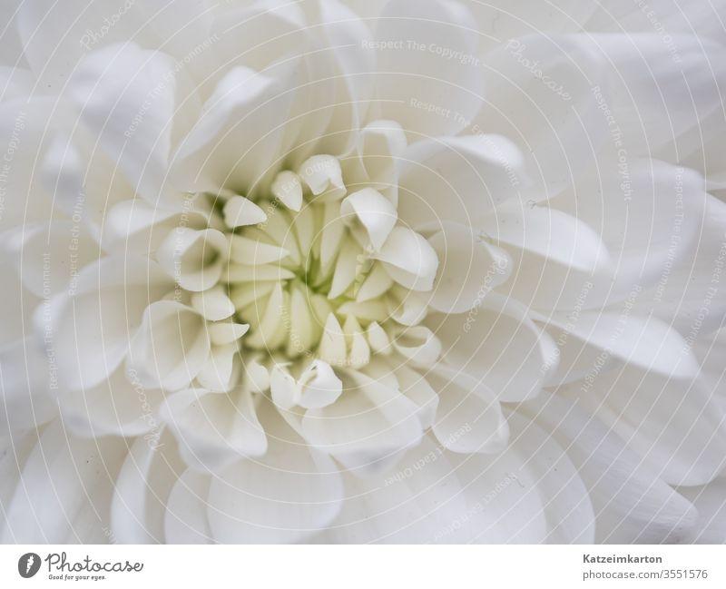Details einer Blume flower background wallpaper romantic chrysanthemum botanical botany delicate beauty flora pattern summer spring beautiful petal bloom white