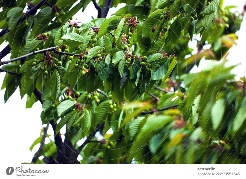 Unripe cherries Branch Cherry Cherry tree fruit Immature Relaxation green holidays Garden allotment Garden allotments Deserted Nature Plant Lawn tranquillity