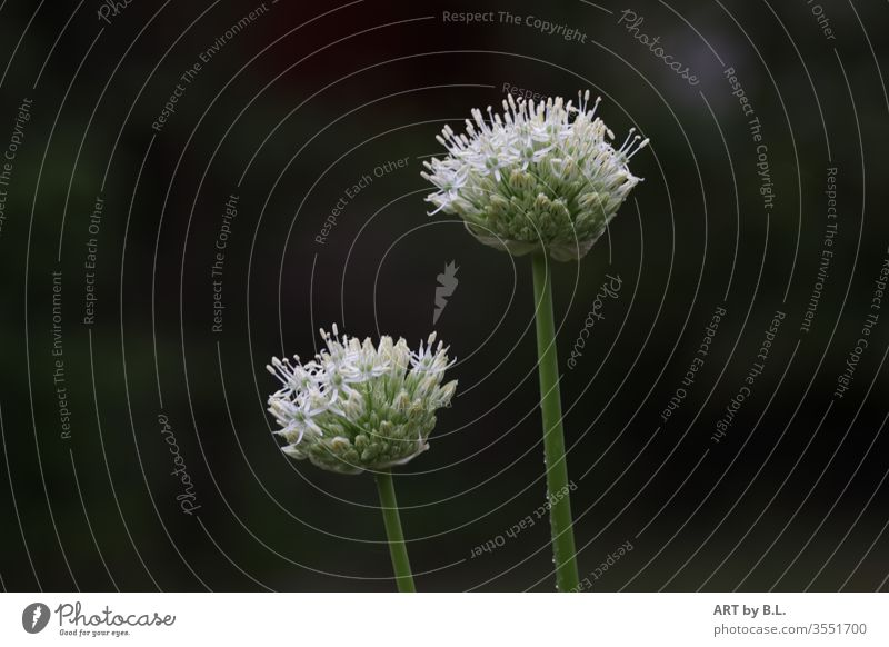 Ornamental garlic duo Plant Duet two allium leek ornamental garlic stars starflower bleed flowers White