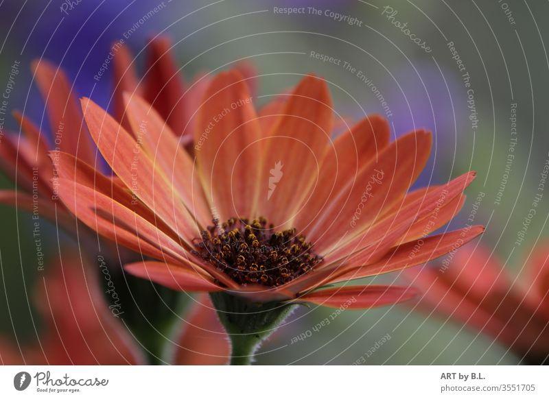 soloist on one's own flowers bleed Nature Plant Orange Marguerite Garden Market garden Advertising buy Sell
