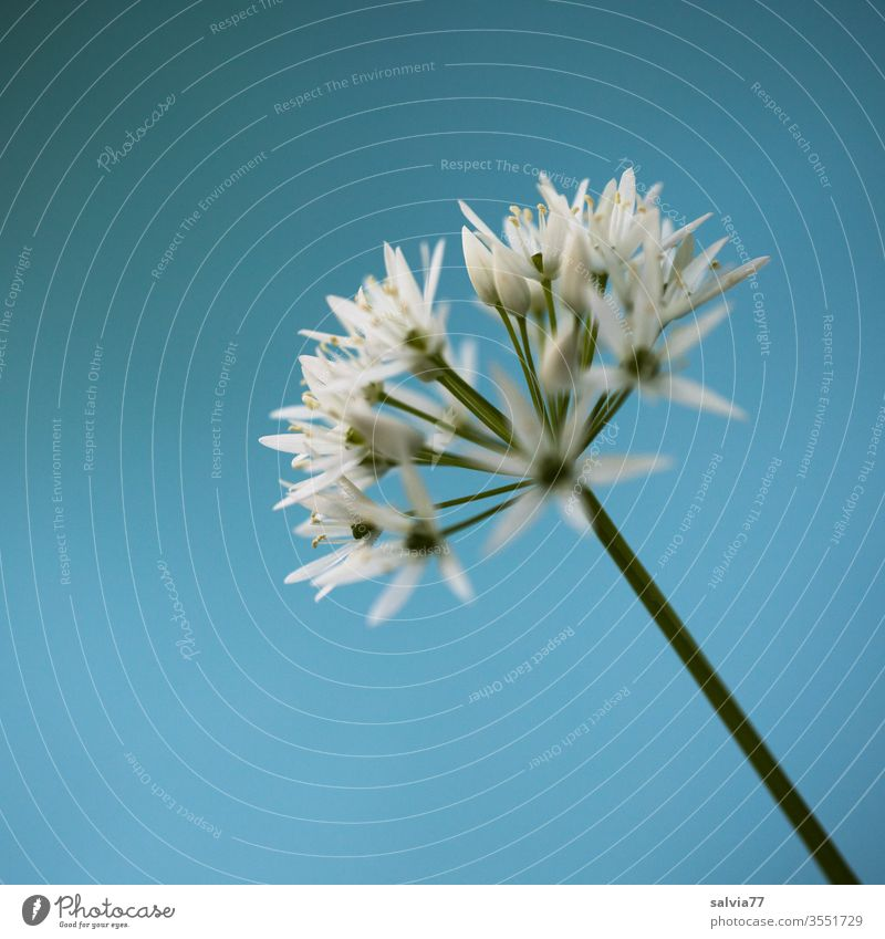 white stars | wild garlic blossom in front of a light blue background Nature Plant flowers Club moss spring green White Colour photo Shallow depth of field