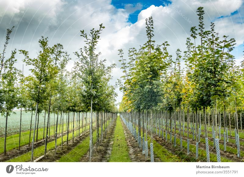 Lined up young trees at a tree nursery in Bavaria numerous nature green outdoor sunny plant sky landscape background environment trunk leaf natural park day