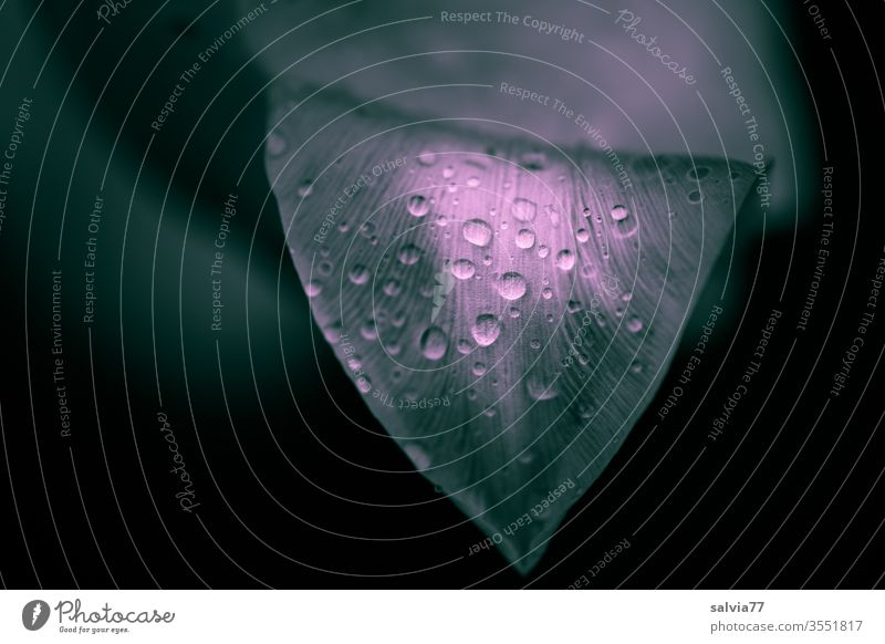 Raindrops adorn a tulip leaf Nature Drop Drops of water raindrops flaked Plant Water Fresh Wet background Abstract Neutral Background Copy Space left Garden