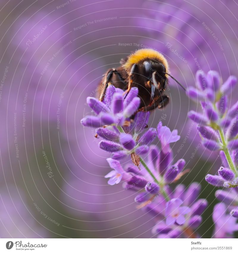 Bumblebee and Lavender Bumble bee lavender blossom Lavender flower flowering lavender fragrant flower Domestic Flower Color purple Background blurred Fragrance