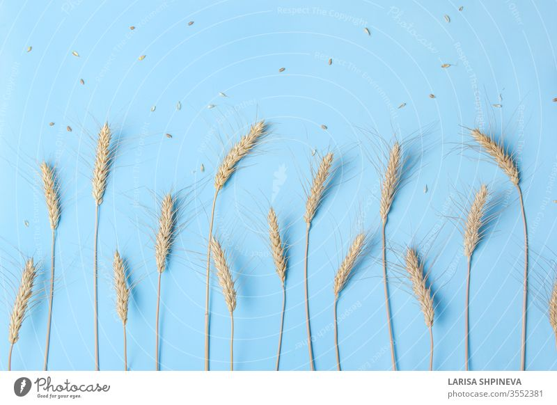 Golden wheat and rye ears, dry yellow cereals spikelets in row on light blue background, closeup, copy space food natural harvest organic gold agriculture