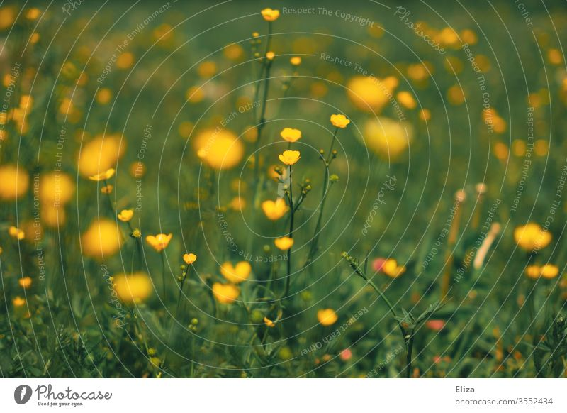 Many yellow buttercups on a flower meadow in spring. Wild flowers. wild flowers Meadow Flower meadow Yellow blossom Blossoming Garden Grass Summer Meadow flower