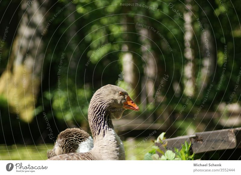 A greylag goose at a lake in the Odenwald Animal Gray lag goose Wild goose Goose Wild animal birds Exterior shot Animal portrait Close-up waterfowl Grand piano