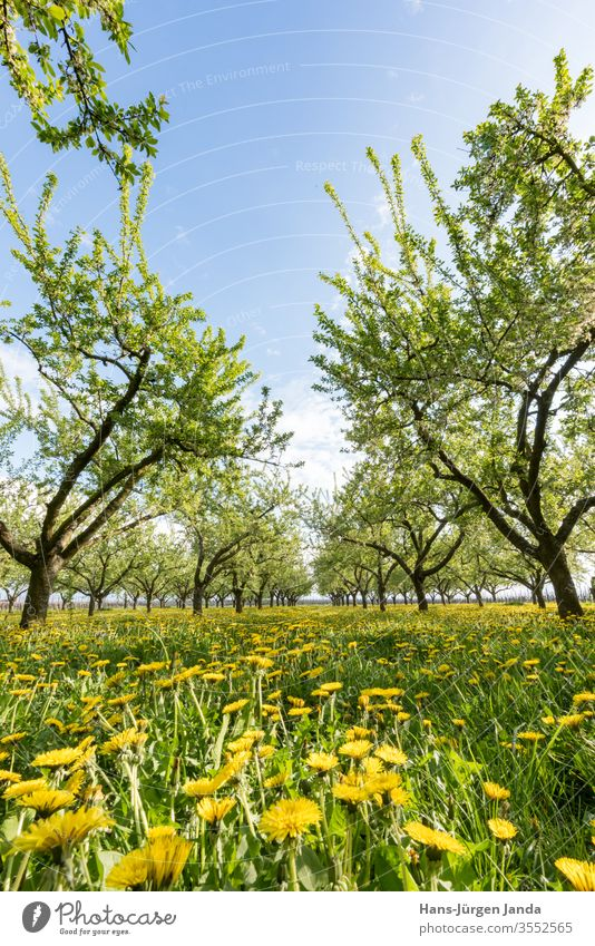Fruit orchard in the setting sun with flowering dandelion Yellow plum apples lowen tooth Sunset flowers fruit acre tree Plantation leaves Meadow Grass Evening