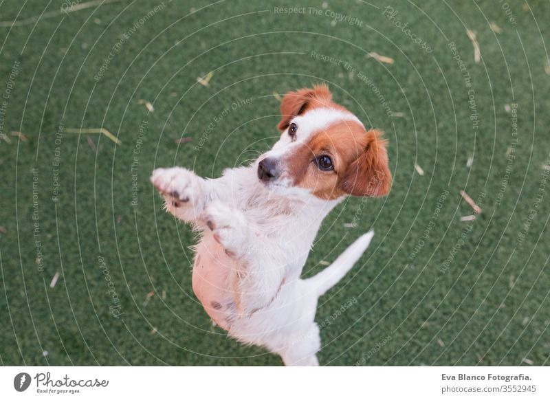 cute small dog asking for food or treats standing on two legs. Cute paws begging. Top view. Love for animals concept and lifestyle nature young jack russell