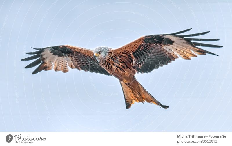 Flying red kite Red kite milvus milvus Royal Consecration Crested Harrier Head Eyes Beak Grand piano plumage feathers Wing span flapping Circle birds Wild bird