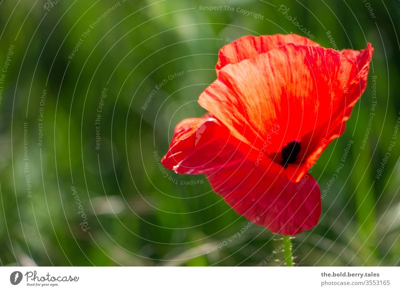 poppy flower flowers bleed Plant Red Poppy Nature Summer green Poppy blossom Colour photo Field Exterior shot Meadow Blossoming Shallow depth of field