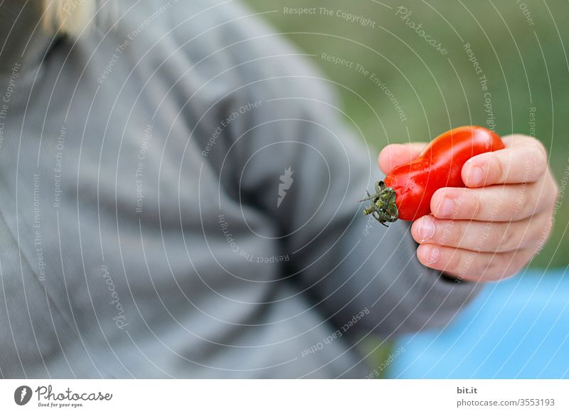 Small tomato in small hand Tomato Retentive by hand Child To hold on Red Healthy Eating Bottle tomato Cocktail tomato Human being Toddler Food Vegetable