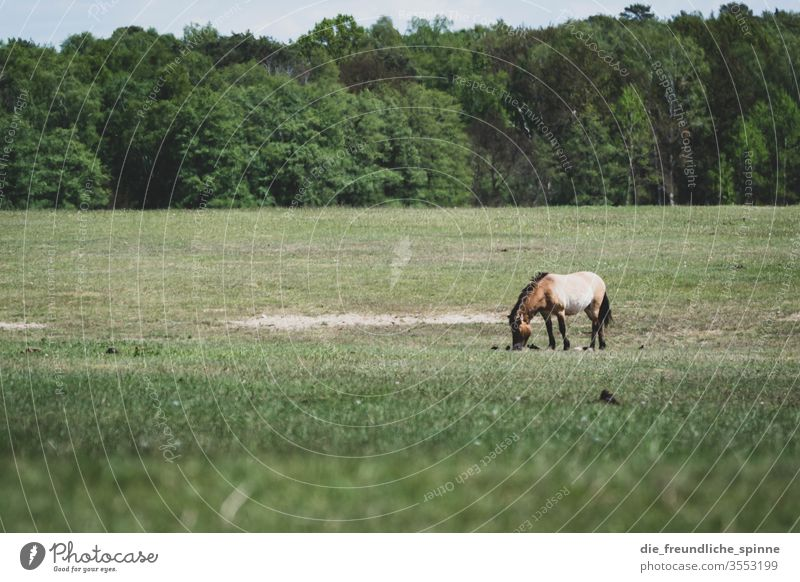 Markish moor Heathland Meadow Horse Forest Landscape Nature Exterior shot Colour photo Environment Sky tree Przewalski To feed grasses Grass green Bangs Brown