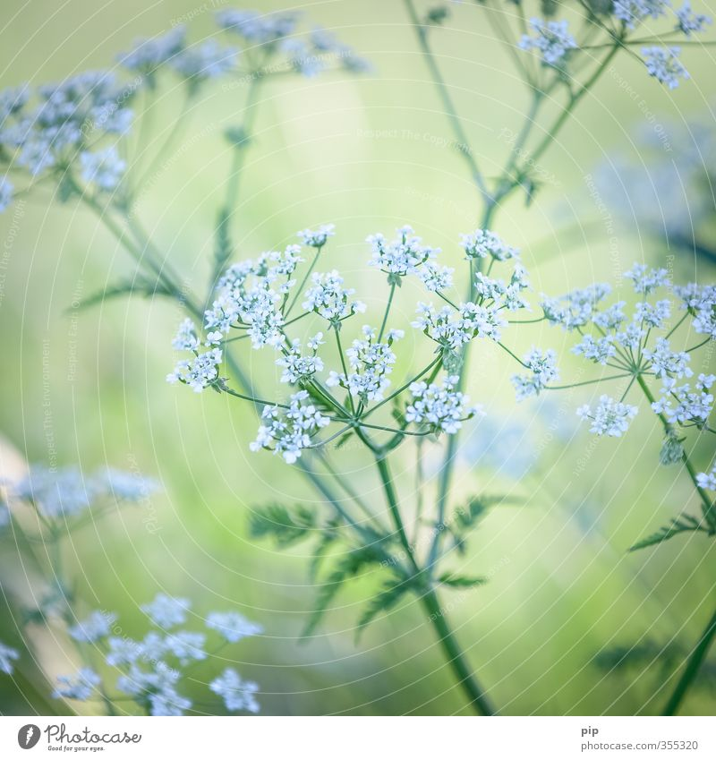 (in)medicinal herb Plant Summer Beautiful weather Leaf Blossom Wild plant Apiaceae Wild carrot Medicinal plant Weed Meadow flower Field Green White Delicate