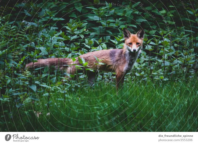 Fox in the bushes I Wild animal Animal Nature Exterior shot Colour photo green Looking Grass shrubby Animal portrait Carnivore Close-up Mammal Orange Brown