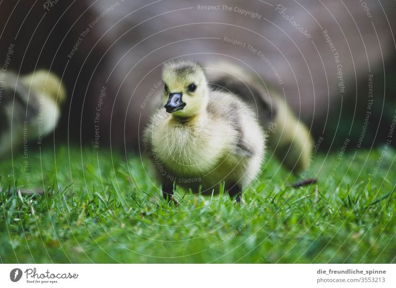 Young goose chick Goose Chick Cute Canadian goose birds Animal Exterior shot Colour photo Baby animal Wild animal Nature Environment Deserted Grass Meadow