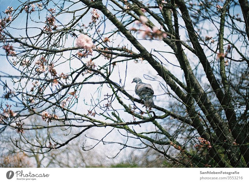 Frühlingstaube Cherry blossom Pigeon Spring Nature Blossom Day Blossoming Cherry tree Exterior shot Beautiful weather Sunlight Colour photo Spring fever Tree