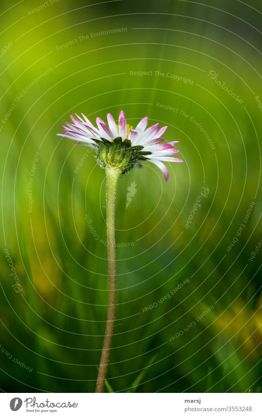 Daisies from frog's eye view Daisy bleed flowers Wild plant spring Light green Meadow Multicoloured Colour photo 1 Delicate Fine Loneliness Hope Modest