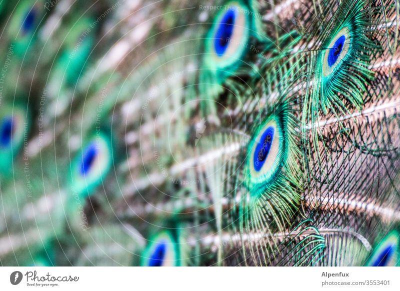 borrowed plumes Peacock birds Peacock feather Colour photo already Exterior shot Deserted Animal portrait Feather Esthetic Close-up Multicoloured Rutting season