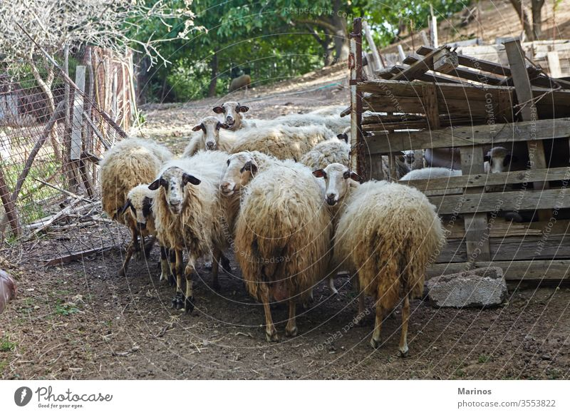 several sheep in the barn industry farm agriculture lamb animals livestock mammal wool rural wooden farming breeding nature herd group shed flock dairy sweet