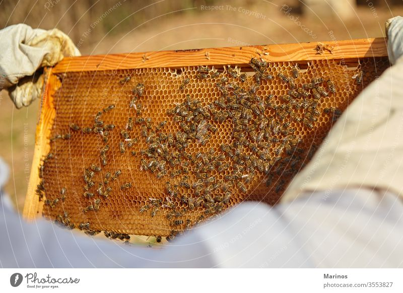 beekeeper holds a honey cell with bees in his hands working insect beekeeping holding farming frame honeycomb wax apiary apiculture nature worker apiarist