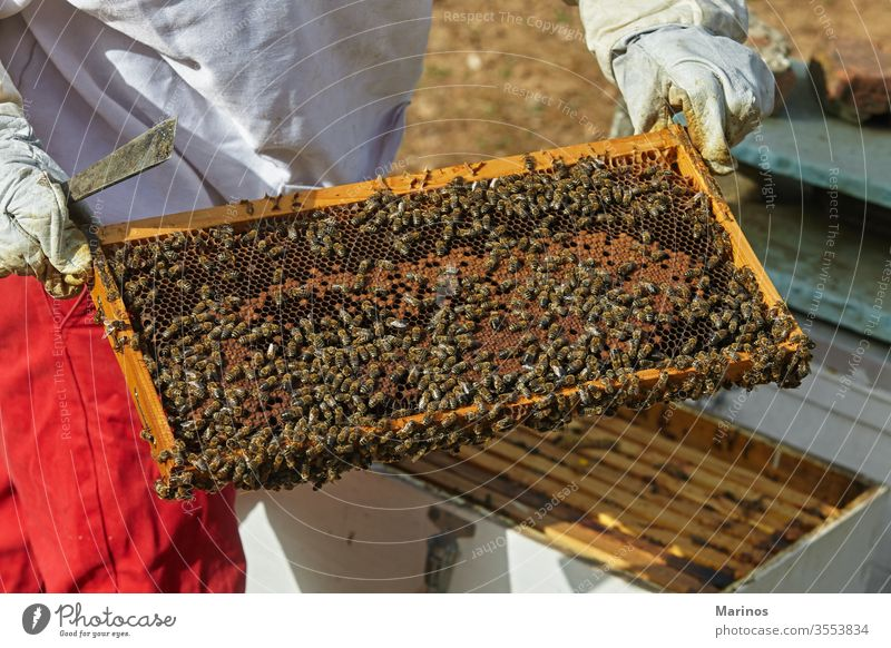 beekeeper holds a honeycomb with bees in his hands. working cell insect beekeeping holding farming frame wax apiary apiculture nature worker apiarist