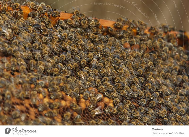 closeup view of bees on honey cells. working insect beekeeping holding farming frame honeycomb wax apiary apiculture nature worker apiarist agriculture summer