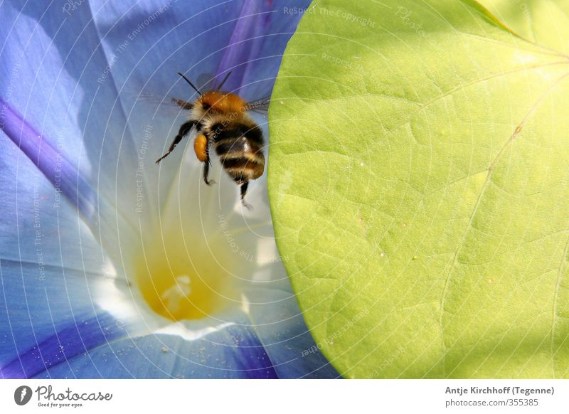 Bumblebee Bumblebee :) Environment Nature Plant Flower Leaf Garden Park Animal Fly Bee Wing 1 Flying Blue Brown Yellow Green Orange Colour photo Multicoloured