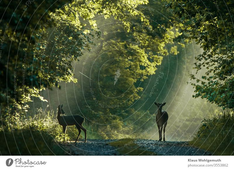 Fallow deer and doe on a forest path fallow deer Roe deer Female deer Nature Exterior shot Animal portrait Forest Deserted Wild animal Colour photo Environment