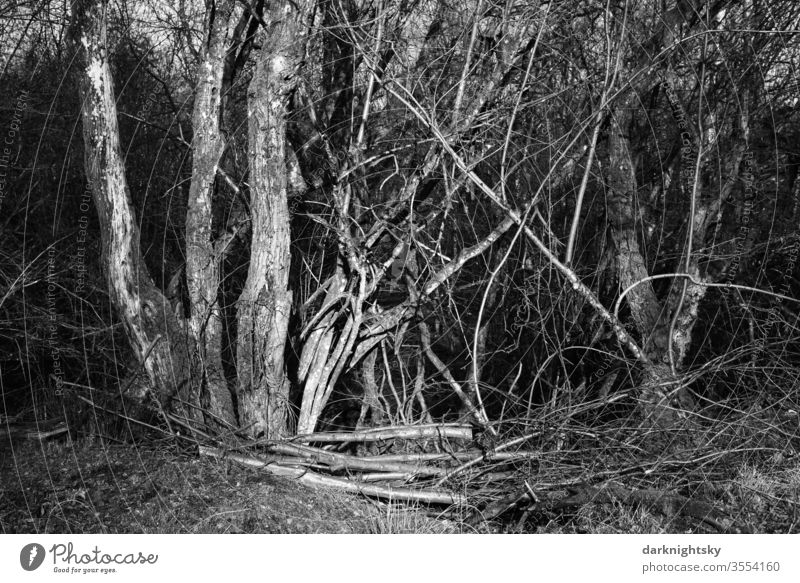 Thicket of trees and bushes in the evening light Nature Seasons White spring white sensual branches Branch Landscape salix Willow tree Exterior shot Day