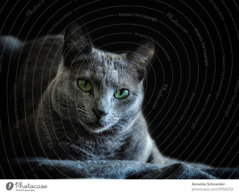 Cat Russian Blue Looking into the camera Animal portrait Neutral Background Studio shot Colour photo Gray Smart Pet 1