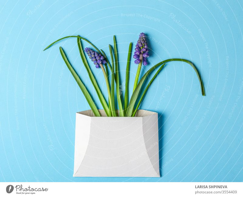 Muscari spring flowers in white envelope on blue background card letter paper day beautiful greeting gift design ribbon Narcissus holiday invitation space mail