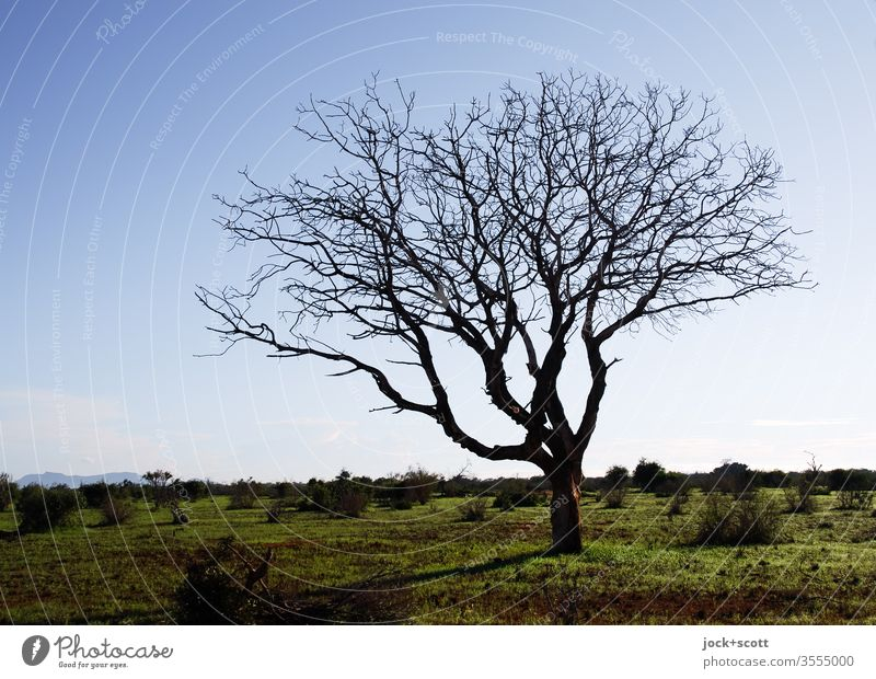 naked tree stands around in the savannah Tsavo National Park Kenya Africa Nature Landscape Savannah Authentic Moody Subdued colour Silhouette Inspiration Grass