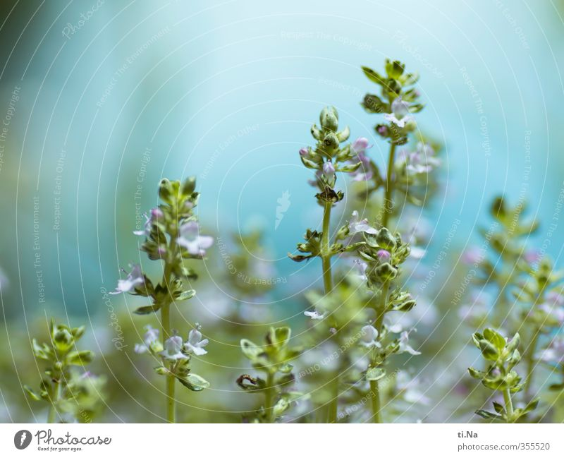 it smells of thyme Environment Spring Summer Plant Agricultural crop Thyme Garden Blossoming Fragrance Esthetic Fresh Healthy Beautiful Small Natural Blue Green