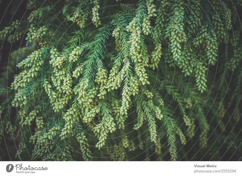 Branches with pollen cones of Cryptomeria japonica commonly known as Japanese cedar or Sugi japanese cedar tree coniferous park growth green branch plant nature