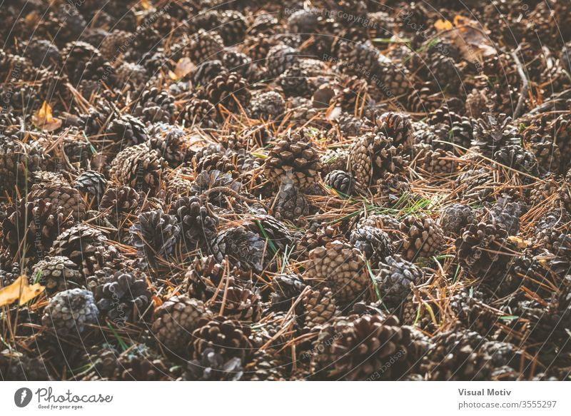 Pine cones and dry needles covering ground on early fall coniferous forest pine autumn environment nature season plant carpet detail element woods countryside