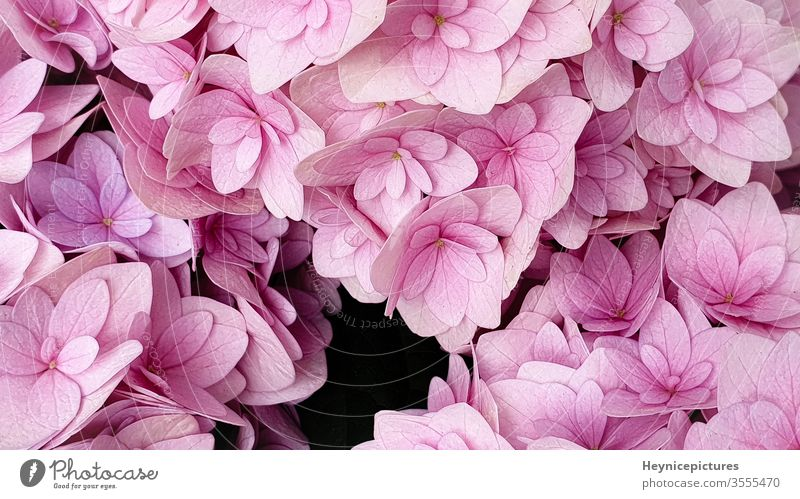 Pink hydrangea flower floral background pink background pink flowers flower background blooming background rose macro flowers lilac petal pink hydrangeas