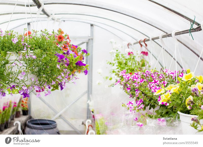 Sale of multi-colored petunias that are grown in the greenhouse. Selective focus. flower background business floral tree pattern summer nature technology spring