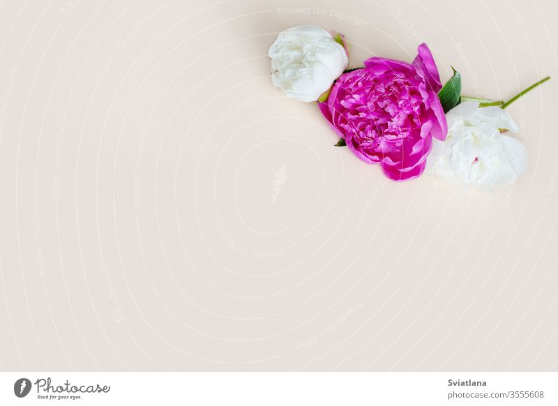 Beautiful pink white peony flowers on a light background with space for text. Postcard, greeting, gift. Side view isolated fresh floral bud romantic botanical
