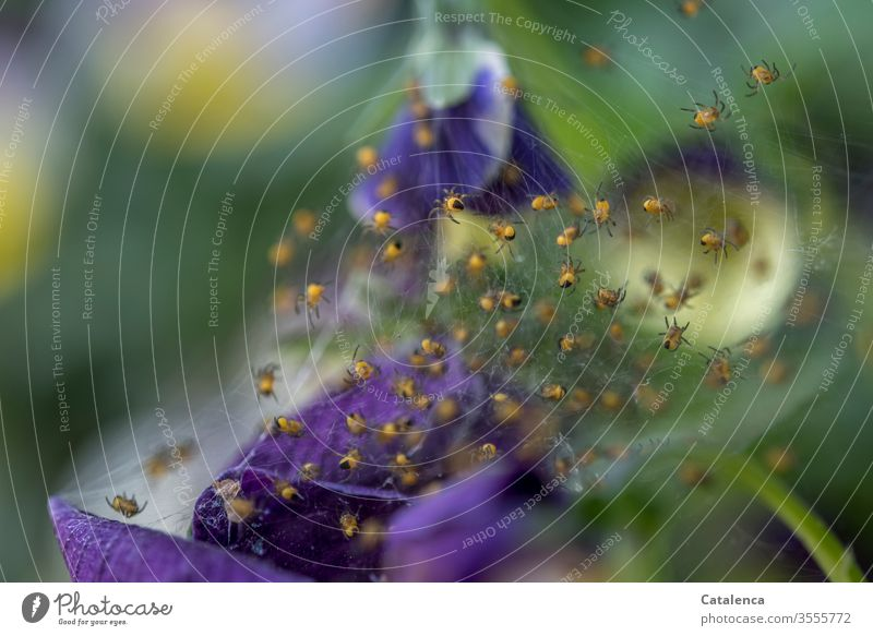 1300 spiders crawl into independence fauna flora Arachnides Animal Spider's web Spin Small Plant petals Pansy Crawl blossom spring green Yellow purple Garden