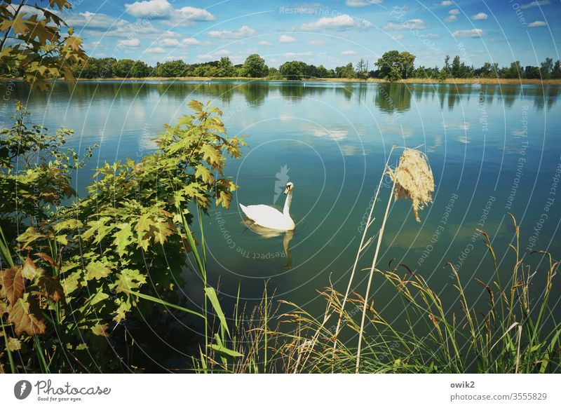 mind Swan Landscape flora fauna Lake Water Surface of water windless Idyll bushes tree twigs foliage Deciduous tree Horizon Sky Clouds Nature Exterior shot