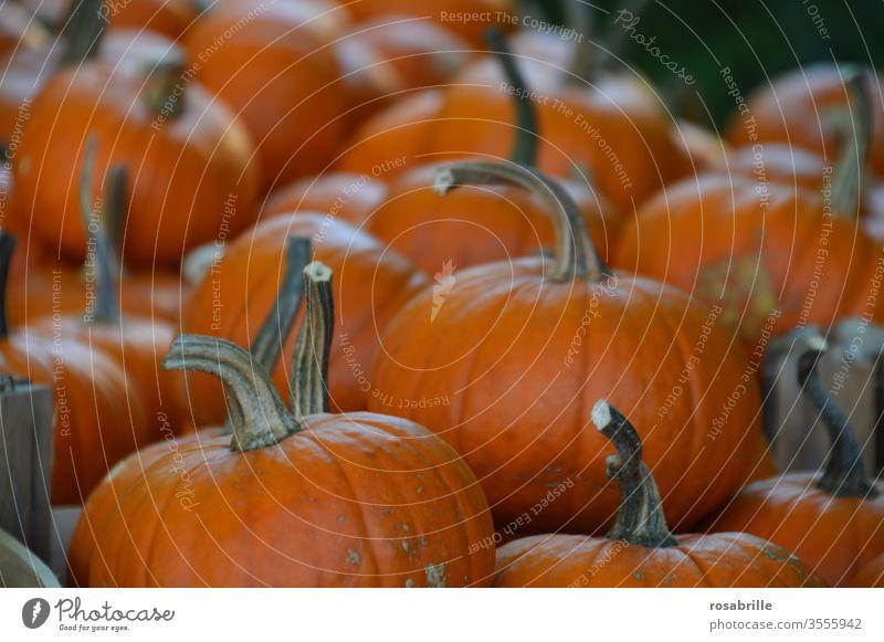 rich harvest pumpkins | vital Pumpkin Harvest thanksgiving Many Orange Vegetable Public Holiday Hallowe'en Fresh Food food products Biological Nutrition
