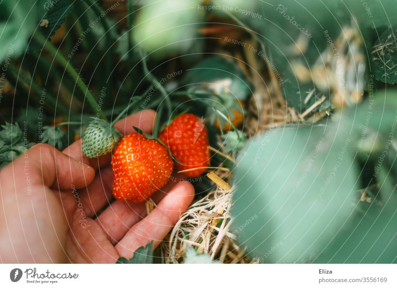 One hand picking and harvesting strawberries on the strawberry field Strawberry Mature Pick yourself amass Red Delicious Field strawberry plant salubriously