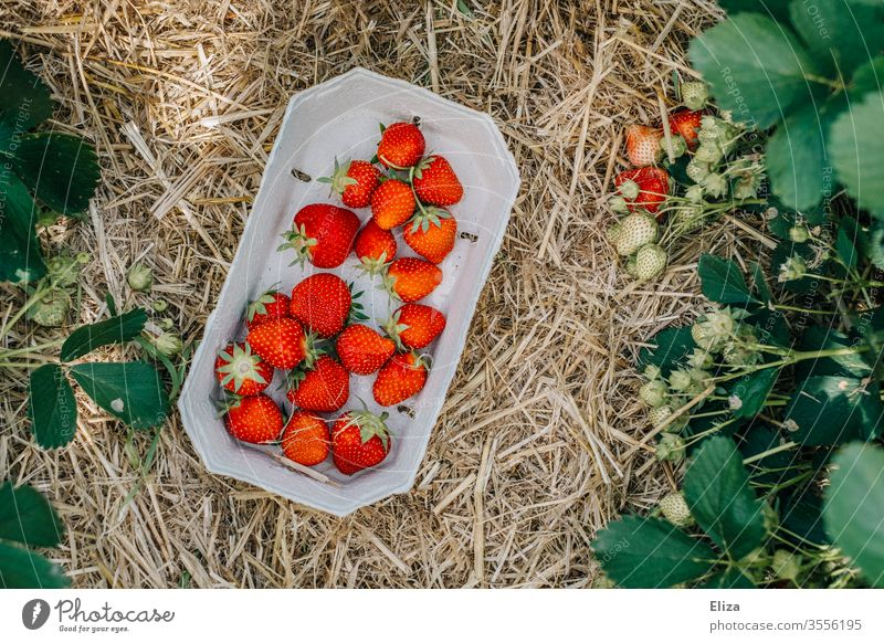 A basket of self-picked strawberries on the straw-covered ground of a strawberry field Strawberry home-picked Picked oneself Field reap Harvest Delicious Fruity