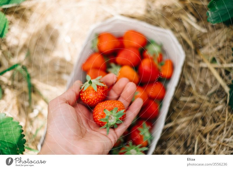 One hand holds fresh strawberries while picking them on the strawberry field Strawberry Mature Pick yourself amass Red Delicious Field salubriously Fresh