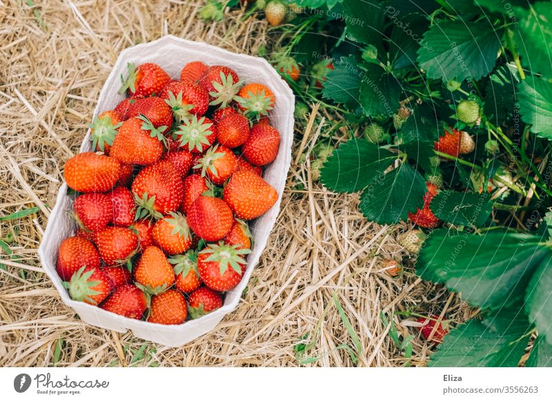 A basket of ripe, freshly picked strawberries next to a strawberry bush in the strawberry field Strawberry Mature Pick yourself amass Red Delicious Field