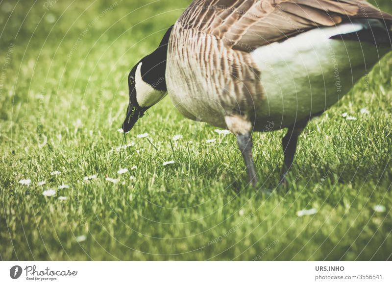 A mallard waddles on the meadow and nibbles daisies Duck Grass To feed Animal birds Colour photo Exterior shot vintage Deserted Beak Day Meadow Mallard